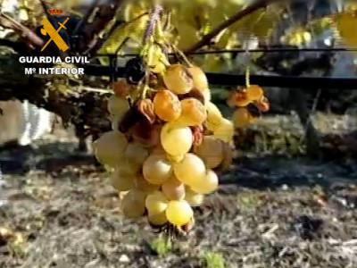 Macroestafa uva ecológica (4)